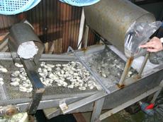 洗浄機で洗い綺麗になった牡蠣です。